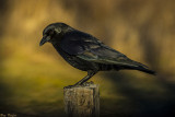 The Color of Crow