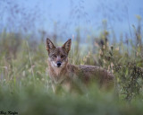 Young Coyote at Dusk