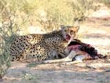 Male cheetah having  a meal