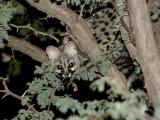 Genet in a tree