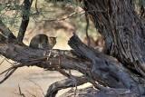 African wild cat dozing