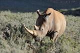 Rhino eating Renosterveld bush
