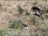 Hornbill argument