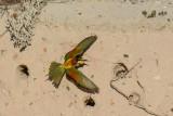 European Bee Eaters shot at Big Bay