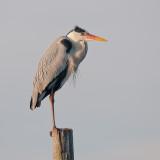 Heron on a stick
