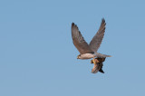 Lanner catches grouse