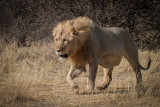 Lion chasing jackal at Halali