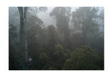 Dawn in the rainforest, + canopy walkway