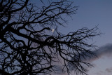 Crescent Moon through a Pinon - Jump Up Point