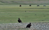 Mongolie - Chevaux
