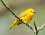 Another Yellow Warbler