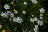 Daisies Growing Wild