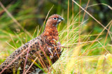 Ptarmigan in the Grass