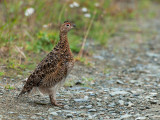 Willow Ptarmigan Crossing the Road