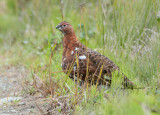 Ptarmigan in Transition