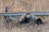 Happy Grizzly Guarding Cache