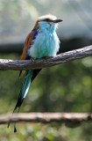 Racquet-tailed Roller