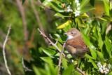 Common Whitethroat - Sylvia comunis - Tallareta vulgar