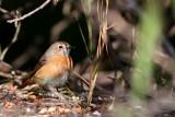 Female Common Redstart - Phoenicurus phoenicurus - Cotxa cuaroja - Colirojo real hembra