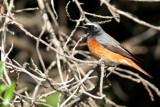 Male Common Redstart - Phoenicurus phoenicurus - Cotxa cuaroja - Colirojo real macho