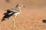 Birding in Senegal and Gambia - Imagenes de aves y naturaleza del Senegal y Gambia