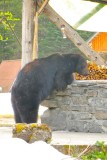 Black bear hired to clean the grill