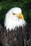 Disabled Bald Eagle at Alaska Raptor Center