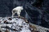 Mountain goat in Glacier Bay