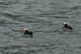 Tufted Puffins, somewhat rare elsewhere in the world.