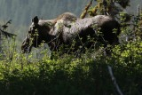 Moose on the bank of the Stikine