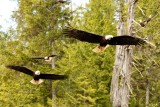 Bald Eagles, very cool