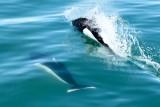 Dall's porpoises alongside boat