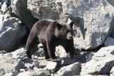 Black bear in Kenai Fjords
