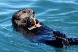 Sea Otter munching on a crab
