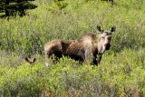 Momma moose with trailing calf