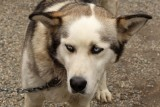 Sled dogs have zombie eyes