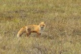 A red fox along the Dalton Highway