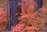 Big Tooth Maples and Ponderosas, Secret Canyon, Red Rock-Secret Canyon Wilderness, AZ