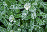 Frozen dew drops on lupine leaves, Mt. Rainier National Park, WA