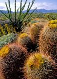 California barrel cactus and ocotillo, Anza-Borrego Desert State Park, CA