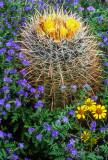 California barrel cactus, brittlebush and phacelia, South Mountain Park, Phoenix, AZ