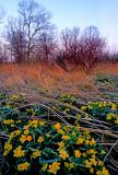 Marsh marigolds, Chiwaukee Prairie, Kenosha County, WI