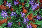 Dwarf lake iris and Northern White Cedar leaves, Ridges Sanctuary, Door County, WI