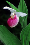 Showy Lady's-slipper, Ridges Sanctuary, Door County, WI