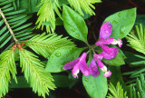 Gaywings and Balsam Fir needles, Ridges Sanctuary, Door County, WI