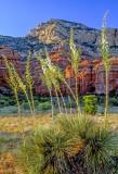 Yuccas in Bear Mountain Meadow, Sedona, AZ