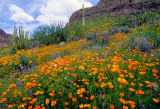 Mexican gold poppies, chia, lupine and chickory, Organ Pipe Cactus National Monument, AZ