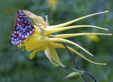 Checkerspot butterfly on columbine, West Fork, Oak Creek Canyon, AZ