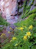 Columbine , West Fork of Oak Creek Canyon, AZ