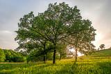 Burr Oak Savanna